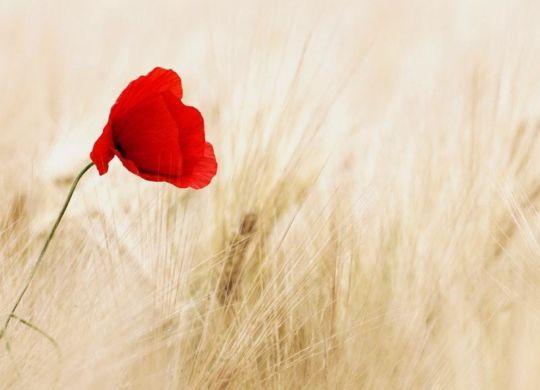 cereals-field-ripe-poppy-70741